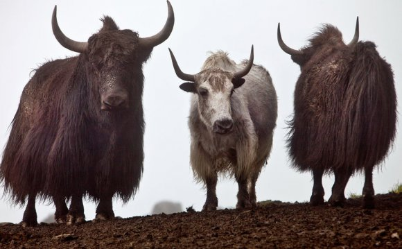 Yaks roam the hills in the